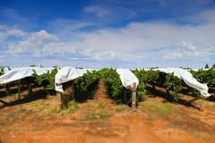 Uvas cubiertas en viñedo Imágenes de archivo libres de regalías