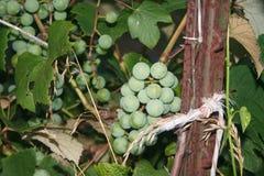 Uvas cultivados em casa Fotografia de Stock Royalty Free