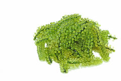 Uvas da alga ou do mar do lentillifera de Caulerpa ou alimento saudável do caviar verde isolado com fundo branco imagem de stock