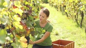 Uvas da colheita da jovem mulher vídeos de arquivo