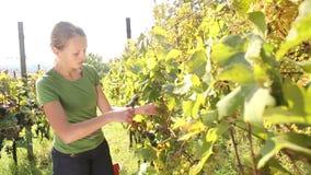 Uvas da colheita da jovem mulher video estoque