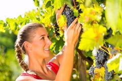 Uvas da colheita da mulher com tesoura no tempo de colheita fotografia de stock