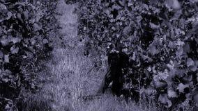 Uvas da colheita da mulher no outono filme