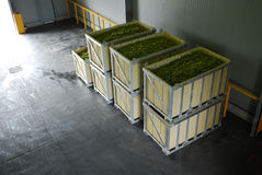 Uvas da jarda do vinho Fotos de Stock Royalty Free