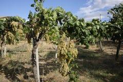 Uvas das uvas brancas na videira Fotos de Stock
