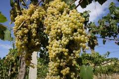 Uvas das uvas brancas na videira Imagens de Stock