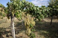Uvas das uvas brancas na videira Imagens de Stock Royalty Free