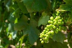 Uvas de amadurecimento em plantas das uvas para vinho na grande região do vinho de assim Fotos de Stock Royalty Free