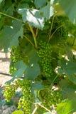 Uvas de amadurecimento em plantas das uvas para vinho na grande região do vinho de assim Imagens de Stock Royalty Free
