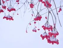 Uvas de bayas rojas contra la nieve blanca Foto de archivo