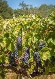 Uvas de cabernet - de sauvignon Fotografia de Stock