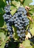 Uvas de Cabernet-Sauvignon imagen de archivo libre de regalías