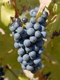 Uvas de Cabernet-Sauvignon foto de archivo libre de regalías