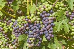 Uvas de Cabernet-Sauvignon que cuelgan en la vid imagenes de archivo