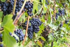 Uvas de Carbernet Sauvignon prontas para ser #3 escolhidos Imagem de Stock Royalty Free