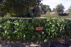 Uvas de Carmenere no vale de Maipo fotos de stock royalty free