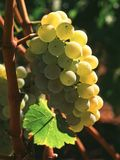 Uvas de Chardonnay Fotos de Stock Royalty Free