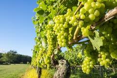Uvas de Chardonnay en un viñedo #1 Imagen de archivo libre de regalías