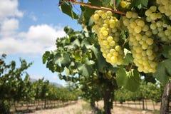 Uvas de Chardonnay en vid Foto de archivo libre de regalías