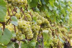 Uvas de Chardonnay na videira Imagens de Stock