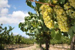 Uvas de Chardonnay na videira Foto de Stock Royalty Free