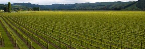 Uvas de Chardonnay Pano Fotos de archivo