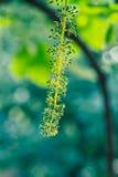 Uvas de florescência Fotos de Stock Royalty Free