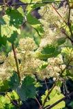 Uvas de florescência na luz solar closeup agricultura Fotografia de Stock