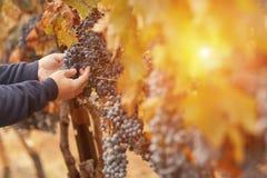 Uvas de Inspecting His Wine do fazendeiro no vinhedo Fotos de Stock Royalty Free