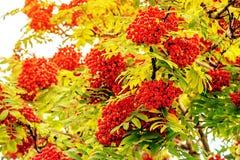 Uvas de la ceniza de montaña roja en las ramas de un árbol Fotografía de archivo