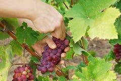 Uvas de la cosecha Fotografía de archivo libre de regalías