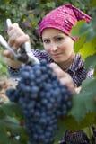 Uvas de la cosecha de la mujer Imágenes de archivo libres de regalías
