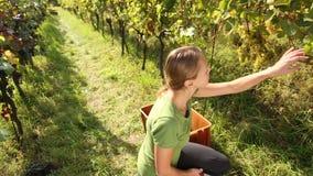 Uvas de la cosecha de la mujer joven almacen de metraje de vídeo