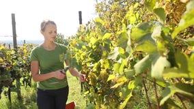 Uvas de la cosecha de la mujer joven almacen de video