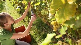 Uvas de la cosecha de la mujer joven metrajes