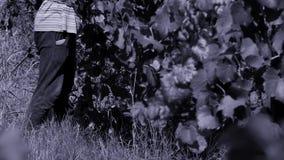 Uvas de la cosecha de la mujer en el otoño almacen de metraje de vídeo