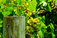 Uvas de la muscadino Foto de archivo libre de regalías