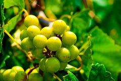 Uvas de la muscadino Fotografía de archivo libre de regalías