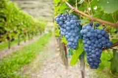 Uvas de la vid para el vino rojo Imágenes de archivo libres de regalías