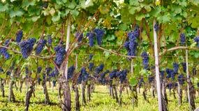 Uvas de las uvas de las uvas Foto de archivo