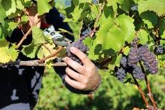 Uvas de las uvas rojas Fotos de archivo