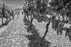 Uvas de maduración Fotografía de archivo