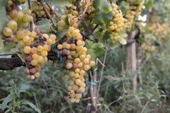 Uvas de Muscat Foto de Stock