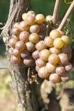 Uvas de Pinot Gris/Grigio Imagem de Stock