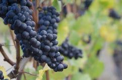 Uvas de Pinot Noir Fotos de Stock