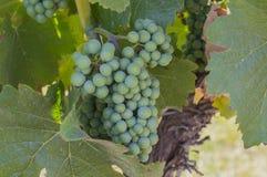 Uvas de Pinot Noir no Columbia Britânica Canadá de Okanagan do vinhedo Fotografia de Stock
