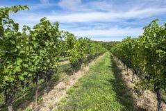 Uvas de Pinot Noir prontas para ser #1 escolhidos Imagem de Stock