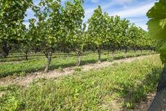 Uvas de Pinot Noir prontas para ser #2 escolhidos Fotos de Stock