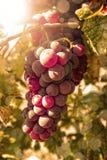 Uvas de Riped no outono Fotografia de Stock