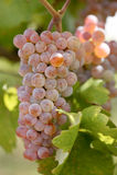 Uvas de Rose Imagen de archivo libre de regalías